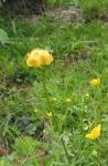 Bergblume